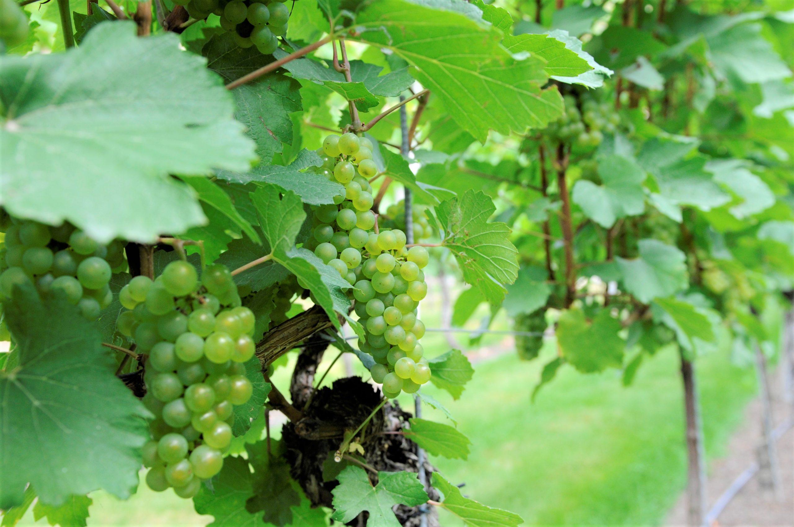 Chardonnay, caractéristiques, arômes et histoire sur le guide du vin en ligne votre caviste qui vous livre en direct à domicile.