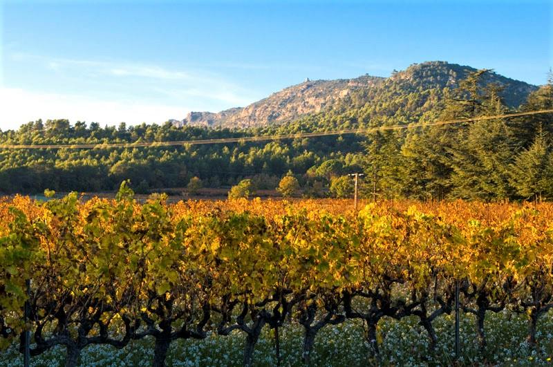 Carignan - Guide des cépages en ligne - Tastavin votre caviste spécialisé en vin francais sur internet