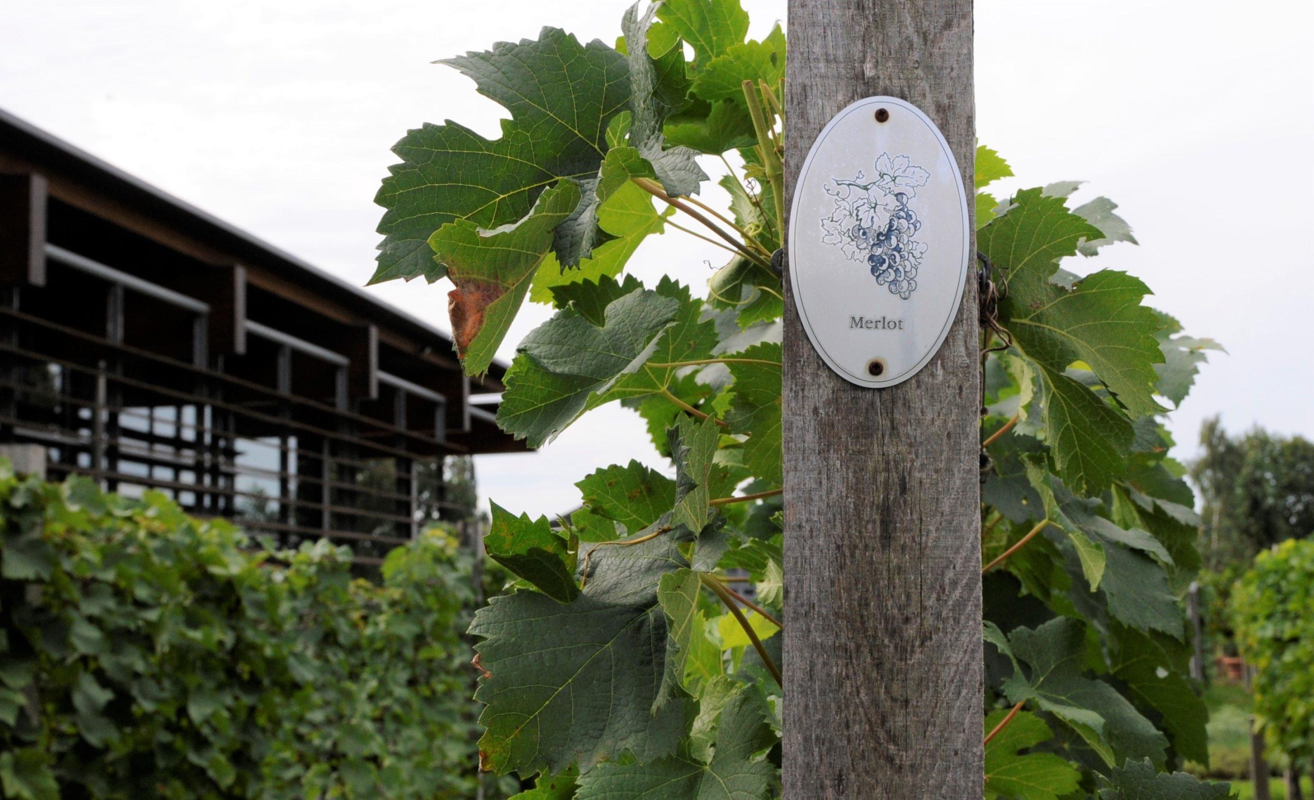 Merlot, ses caractéristique sur le guide du vin et des cépages de votre caviste en ligne Tastavin.