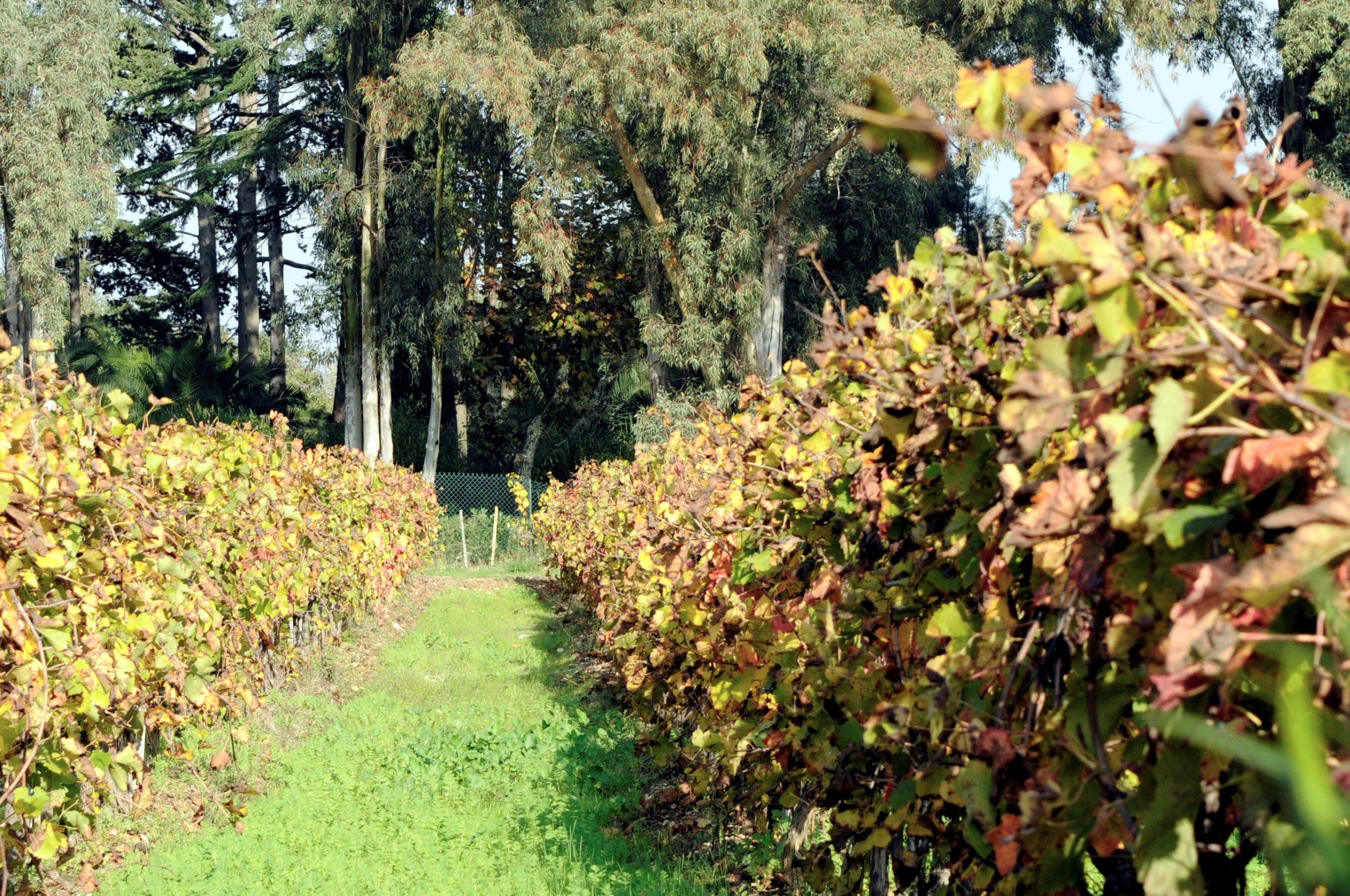 Mourvedre - Caractéristique, histoire et description de ce cépage typique du sud de la France sur le guide du vin en ligne de votre caviste Tastavin