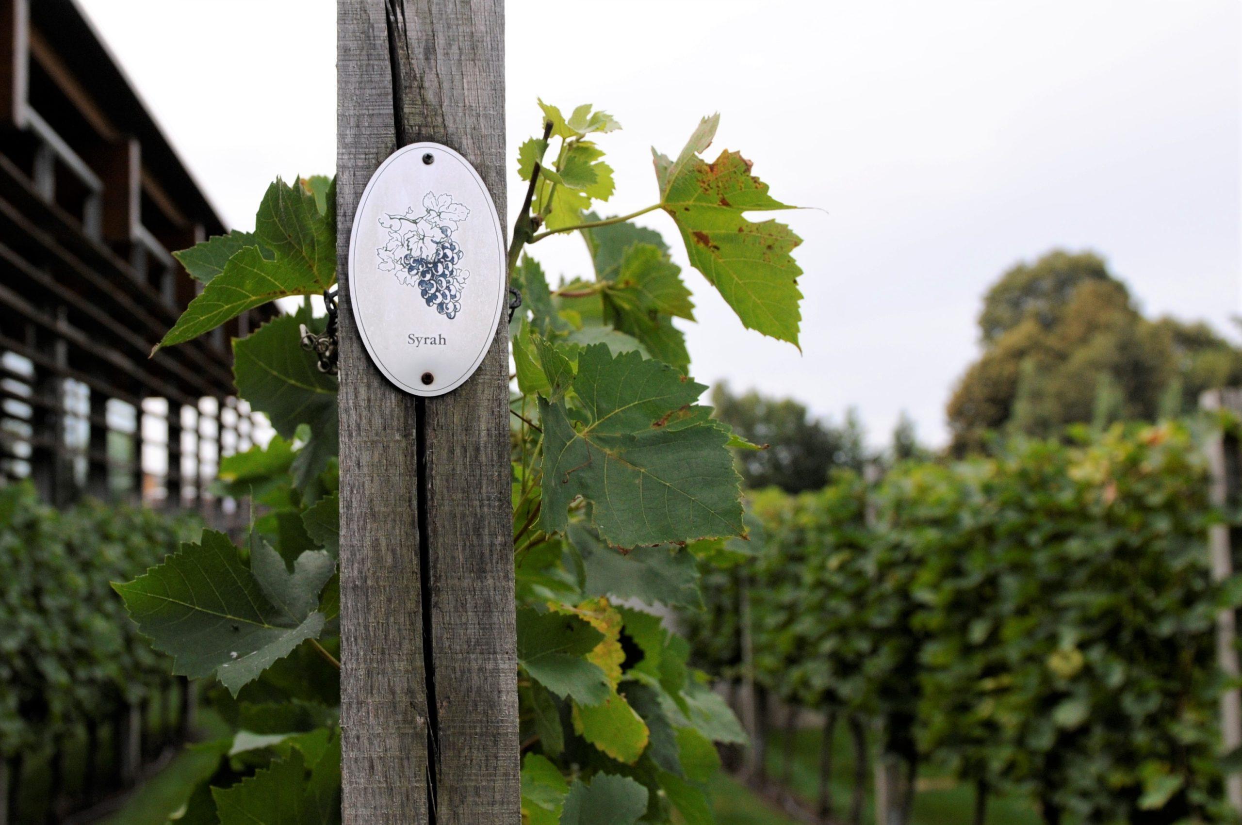 Syrah - Histoire, arômes et caractéristiques sur le guide des cépages et du vin en ligne de Tastavin.