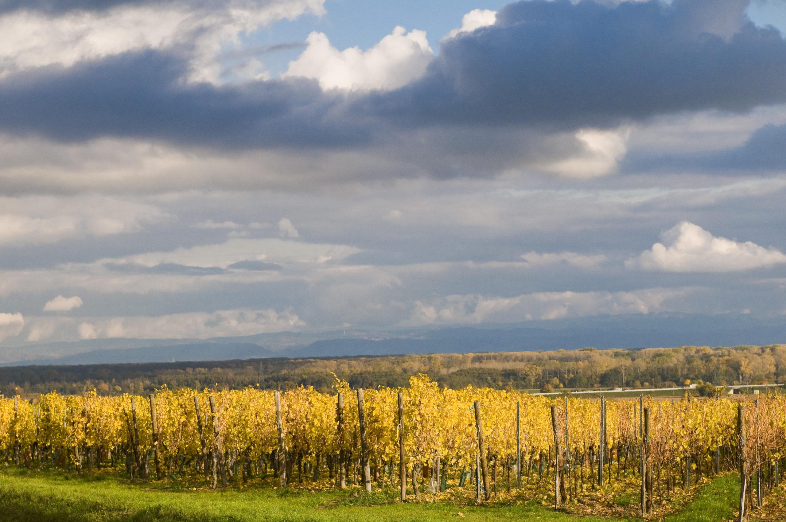 Vignoble Alsace sur le guide du vin en ligne de Tastavin, votre véritable caviste sur internet.