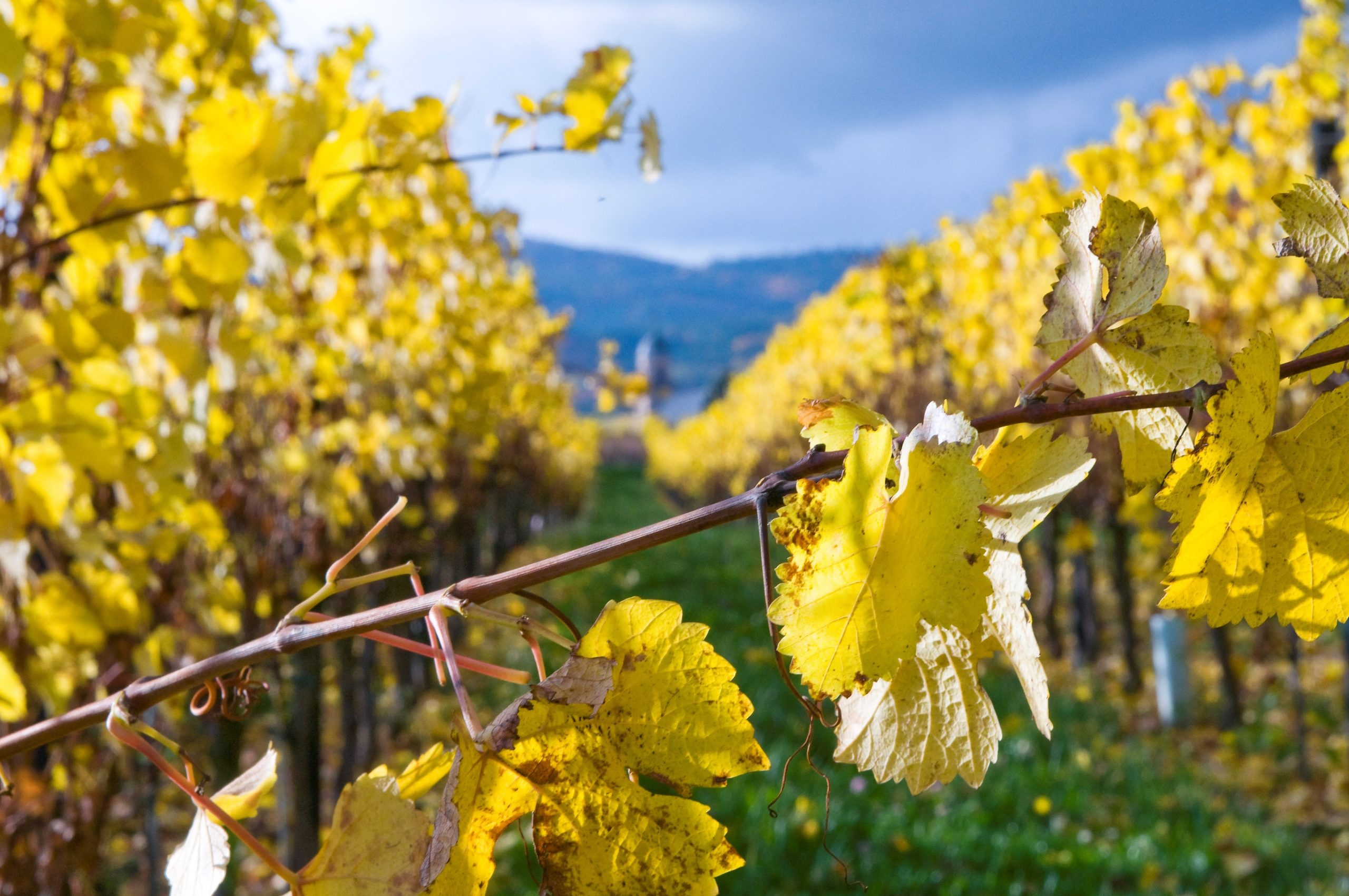 Conditions optimales pour obtenir un grand millésime - Guide du vin de votre caviste en ligne Tastavin