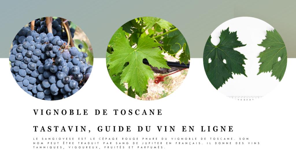 Le Sangiovese est le cépage classique et tradtionnel des vins rouges de Toscane, comme les Chiantis. Vignoble de Toscane, guide du vin en ligne Tastavin