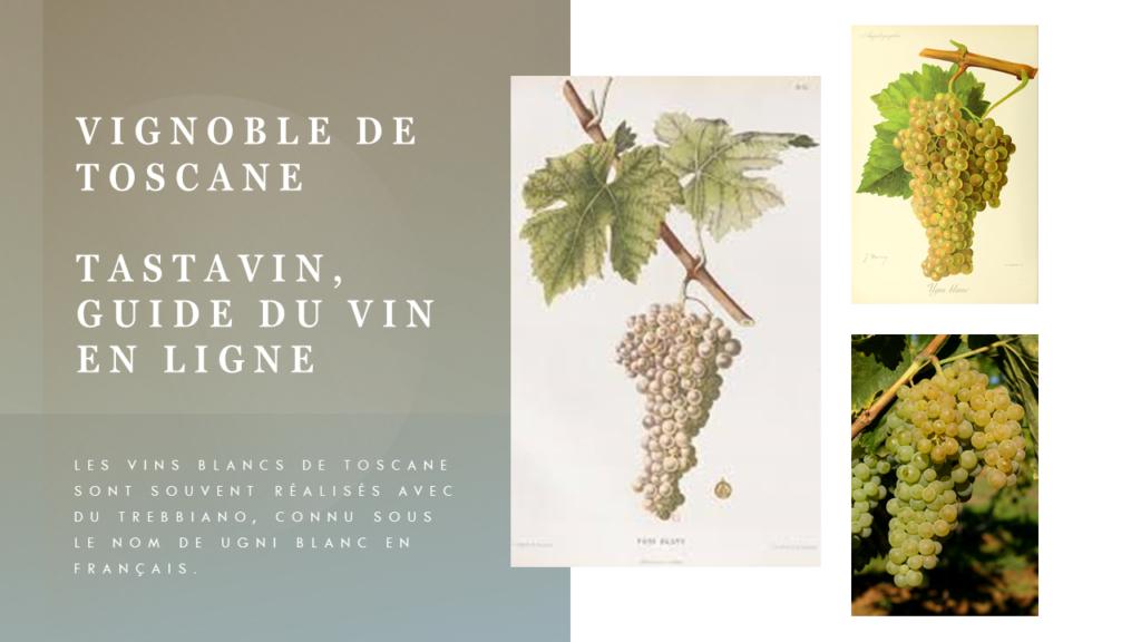 Le cépage Trebbiano est à la base de la plupart des rares vins blancs de Toscane. On le connait sous le nom de Ugni blanc dans le sud de la France. Vignoble de Toscane, guide du vin en ligne de votre caviste Tastavin